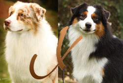Ninhadas Australian Shepherd Kross: SHEPHERD KROSS BILLY BOY vs. Jillian