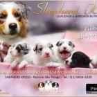Pastor Australiano - Filhotes Cães e Cia